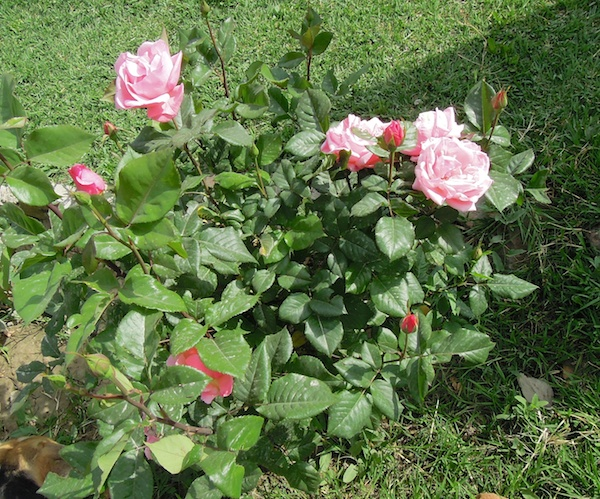 Lessons from my Rose Bushes-Take Two